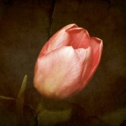 Digital Layers Prints - Soft Pink Tulip Print by Cathie Tyler