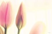Pinks Posters - Soft Pinks Tulips II Poster by Jayne Logan Intveld