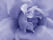 Purple Roses Photo Prints - Soft Purple Rose Flower Print by Jennie Marie Schell