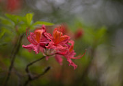 Rhodies Posters - Soft Red Rhodies Poster by Mike Reid