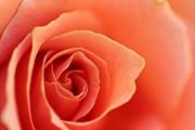 Soft Rose Petals Print by Henrik Lehnerer