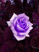 Dozen Red Roses Posters - Soft Single Violet Rose Poster by Annie Zeno