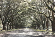 Live Oaks Photo Framed Prints - Soft Southern Day Framed Print by Carol Groenen