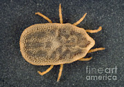 Tick Prints - Soft Tick, Carios Kellyi Print by Science Source