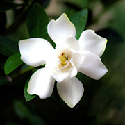 Gardenias Photos - Soft White by Ken Frischkorn