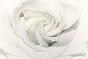 White Rose Posters - Soft white Poster by Kristin Kreet