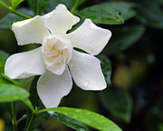Gardenias Photos - Soft White two by Ken Frischkorn