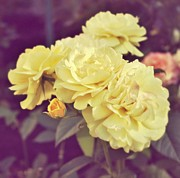 Cream Roses Prints - Soft Yellow Print by Cathie Tyler