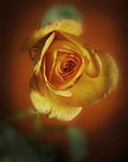 Soft Yellow Rose Orange Background Print by M K  Miller