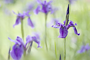 Flowering Bulbs Prints - Softly Iris Print by Jacky Parker