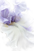 Purple Florals Posters - Softness of a Lavender Iris Flower Poster by Jennie Marie Schell