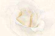 Ivory Roses Posters - Softness of an Ivory Rose Flower Poster by Jennie Marie Schell