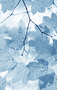 Light And Dark  Prints - Softness of Blue Leaves Print by Jennie Marie Schell