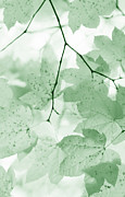 Light And Dark  Prints - Softness of Green Leaves Print by Jennie Marie Schell