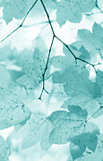 Light And Dark  Prints - Softness of Teal Maple Leaves Print by Jennie Marie Schell
