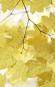 Autumn Leaf Posters - Softness of Yellow Leaves Poster by Jennie Marie Schell