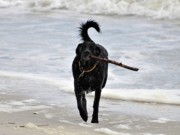 Black Lab Photos - Soggy Stick by Al Powell Photography USA