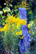 Susie Weaver Art - Solidago by Susie Weaver