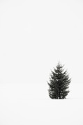 Cold Temperature Framed Prints - Solitary Evergreen Tree Framed Print by Jennifer Squires
