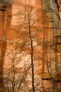 Oak Creek Prints - Solitary Tree In Front Of Red Rock Print by Charles Kogod