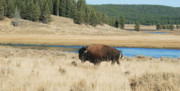 Bison Photos - Solo Bison by Michael Peychich