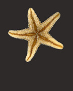 Scan Prints - Solo Starfish II Print by Suzanne Gaff