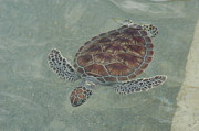 Green Sea Turtle Photos - Solo Swim by Stacey Robinson