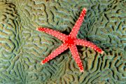 Asteroidea Framed Prints - Solomon Islands, Seastar Framed Print by Ed Robinson - Printscapes