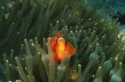 Clown Fish Photo Metal Prints - Solomon Islands, Spine Cheak Metal Print by James Forte