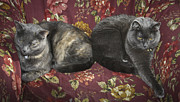 Siamese Photo Prints - Someone Woke Us Up Print by Teresa Mucha