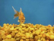Gold Fish Photos - Something Fishy by Donna Blackhall