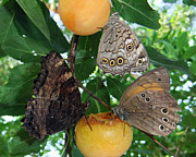 Insect Butterflies Of Lesvos Prints - Something Fruity  Print by Eric Kempson