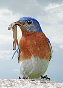 Eastern Bluebird Framed Prints - Sometimes you land a big one Framed Print by Bonnie Barry