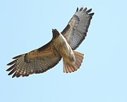 Red Tail Hawk Art - Somewhere In The Sky A Red Tailed Hawk Soars by Wingsdomain Art and Photography