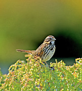 Song Digital Art - Song Sparrow by Betty LaRue