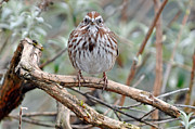 Song Sparrows Framed Prints - Song Sparrow Looking at You Framed Print by Laura Mountainspring