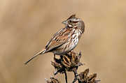 St. Marks Prints - Song Sparrow Print by Rich Leighton