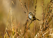 Dried Reeds Posters - Song Sparrow Poster by Sue Baker