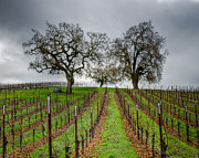 Sonoma County Vineyards. Prints - Sonoma County Vineyard Print by Joan McDaniel