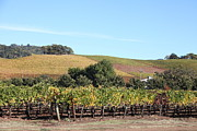 Sonoma County Vineyards. Metal Prints - Sonoma Vineyards - Sonoma California - 5D19307 Metal Print by Wingsdomain Art and Photography