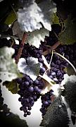 Purple Grapes Prints - Soon to be Wine Print by Cabral Stock
