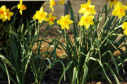Jonquils Photos - Soothed by Valerie Rakes