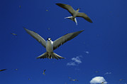 Marquesas Islands Prints - Sooty Terns In Flight In A Blue Sky Print by Tim Laman
