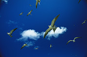 Marquesas Islands Prints - Sooty Terns In Flight Print by Tim Laman