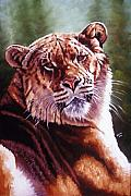 Hybrid Paintings - Sophie the Liger by Barbara Keith