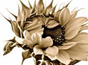 Sunflowers Art - Sophisticated by Gwyn Newcombe