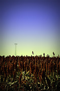 Canon Rebel Posters - Sorghum Fields Forever Poster by Trish Mistric