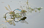 Dragonflies Mating Photos - Soul Mates by Fraida Gutovich