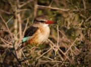 Kingfisher Prints - South African brown-hooded Kingfisher Print by Andy Smy