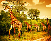 Mara Prints - South African giraffes Print by Anna Omelchenko